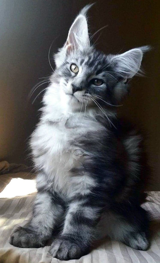 Nuage d'encens maine coon black silver blotched tabby